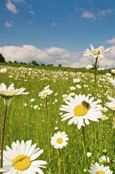 Daisy Photograph - Honey Bee In Wild Daisy Meadow Idyllic by Fotovoyager
