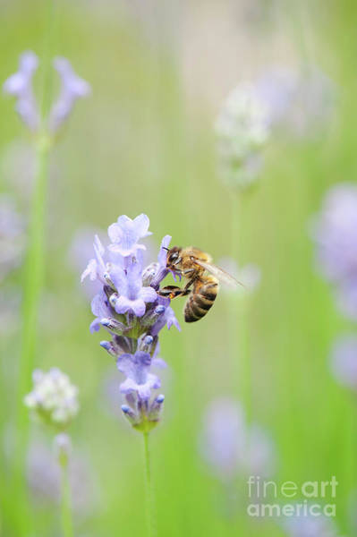 Photograph - Honey Bee On Lavender by Tim Gainey