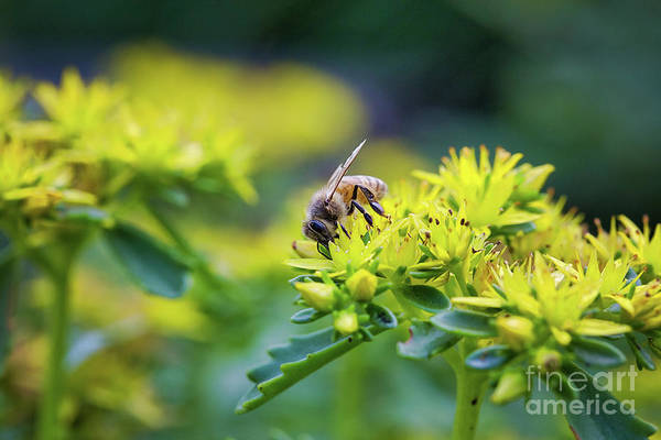 Wall Art - Photograph - Honey Bee On Yellow Flower by Sharon McConnell