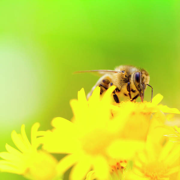 Bee On Flower Wall Art - Photograph - Honey Bee Pollinating Plant In Meadow by Pawel.gaul