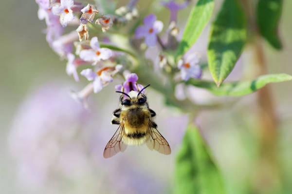 Bee On Flower Wall Art - Photograph - Honey Bee by Safran83