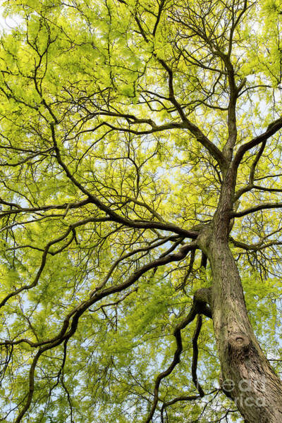 Photograph - Honey Locust Tree Canopy In Spring  by Tim Gainey