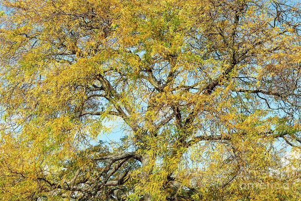 Photograph - Honey Locust Tree In Autumn by Tim Gainey