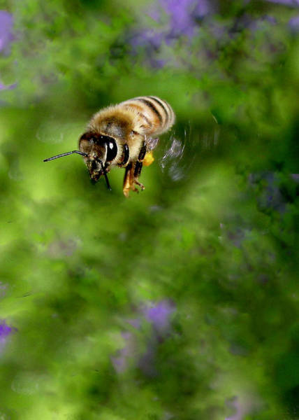 Photograph - Honeybee In Flight by Sarah Lilja