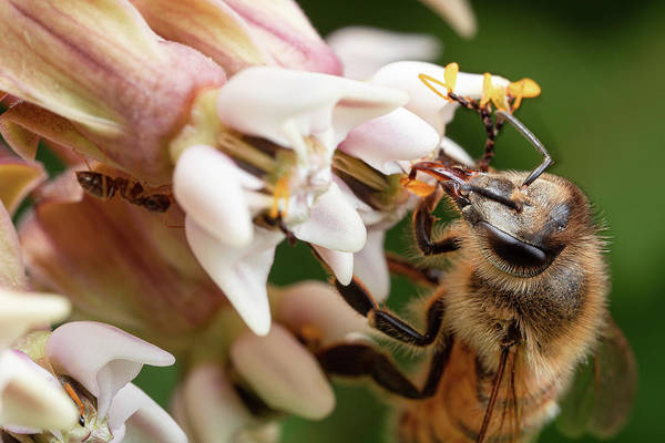 Photograph - Honeybee Nectar Search by Brian Hale