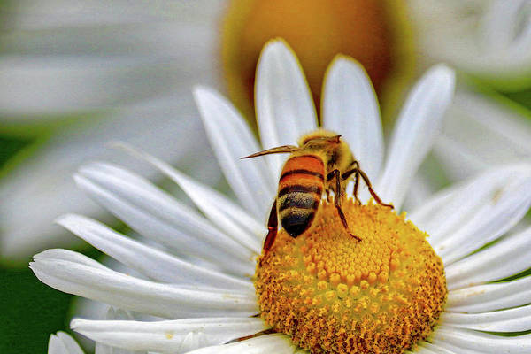 Photograph - Honeybee On A Daisy by Susan Rydberg