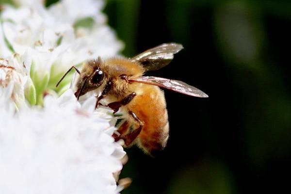 Photograph - Honeybee by Sarah Lilja