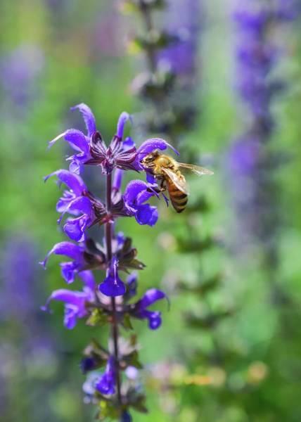 Photograph - Honeybee by Shannon Kelly