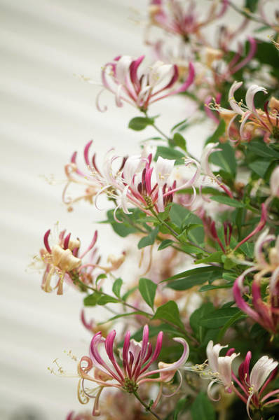 Rockville Photograph - Honeysuckle Lonicera Periclyme In Full by Maria Mosolova