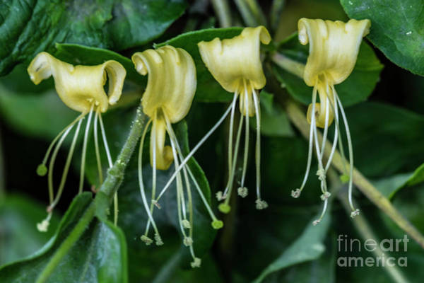 Wall Art - Photograph - Honeysuckles Are Here 05.08.2019  Four In A Row 5343 by Doug Berry