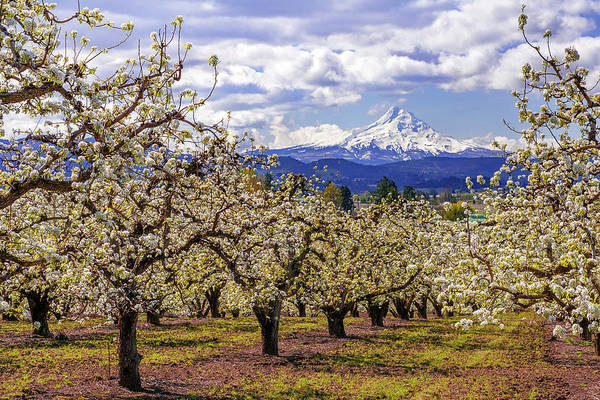 Mt Hood Photograph - Hood River Orchard by Patrick Campbell