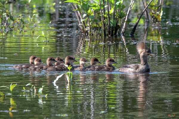 Photograph - Hooded Merganser And Her Ducklings Dwf0200 by Gerry Gantt