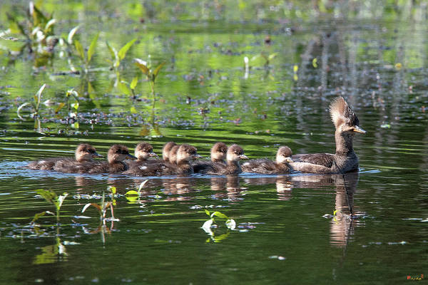 Photograph - Hooded Merganser And Her Ducklings Dwf0202 by Gerry Gantt