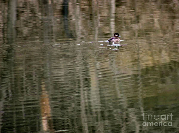 Photograph - Hooded Merganser Duckling by Karen Adams