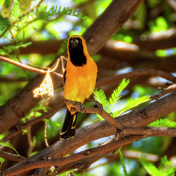 Photograph - Hooded Oriole 1943 by Mark Myhaver