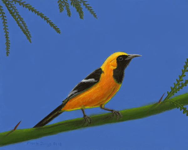 Wall Art - Painting - Hooded Oriole by Mark Junge