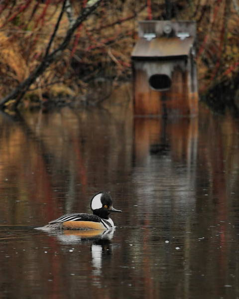 Photograph - Hoodie And Wood Duck House by Dale Kauzlaric