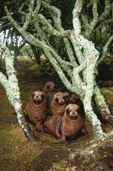 Photograph - Hooker's Sea Lion Pup In Rata Forest by Tui De Roy