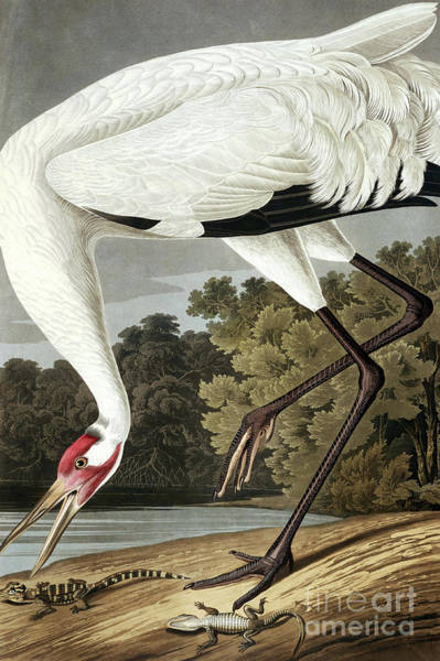 Wall Art - Painting - Hooping Crane, Grus Americana By Audubon by John James Audubon