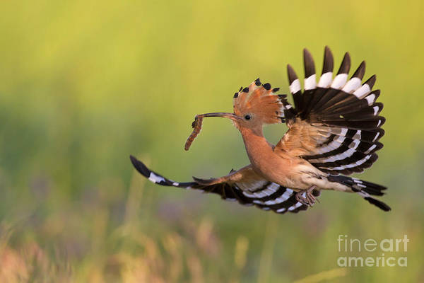 Photograph - Hoopoe by Arterra Picture Library