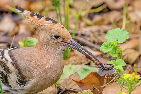 Wall Art - Photograph - Hoopoe With A Bug by Morris Finkelstein