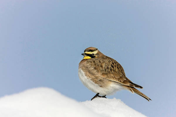 Photograph - Horned Lark by Ronnie and Frances Howard