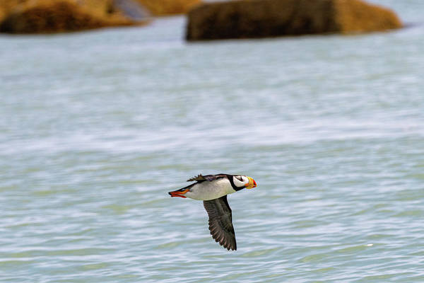 Photograph - Horned Puffin In Flight In Hallo Bay by Mark Hunter
