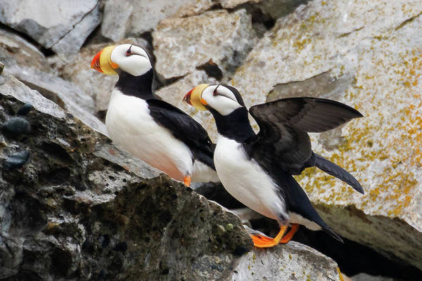 Photograph - Horned Puffin Pair by Mark Hunter