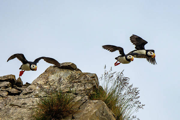 Photograph - Horned Puffin Take Off by Mark Hunter