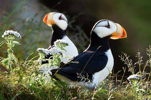 Vertebrate Photograph - Horned Puffins, Lake Clark National by Mint Images/ Art Wolfe