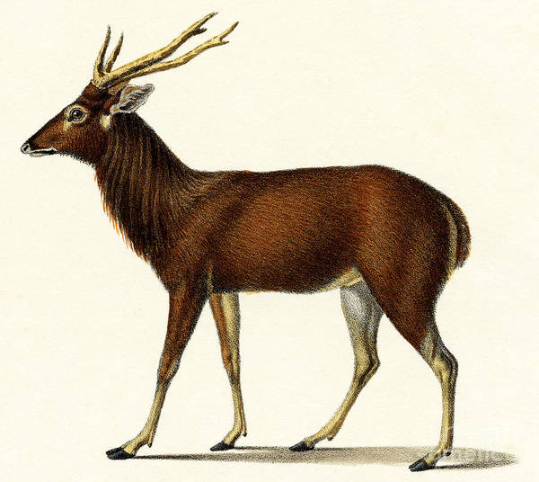 Wall Art - Painting - Horned Red Deer, 1824 Color Lithograph by Karl Joseph Brodtmann