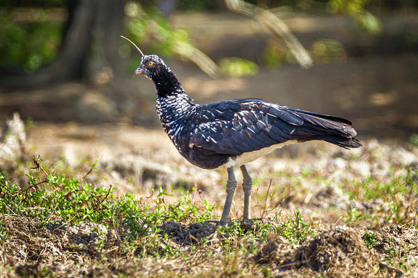Photograph - Horned Screamer Hato Berlin Casanare Colombia by Adam Rainoff