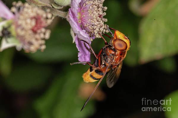 Photograph - Hornet by Brian Roscorla