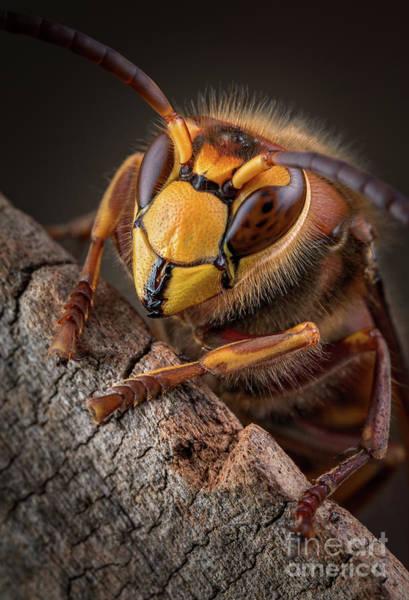 Photograph - Hornet Face by Marco Fischer