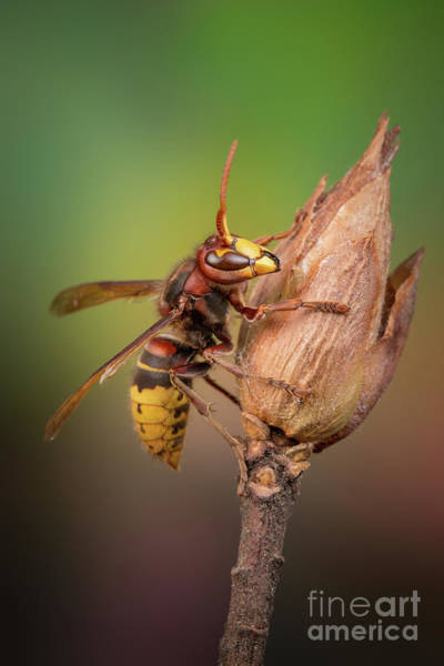 Photograph - Hornet On Twig by Marco Fischer