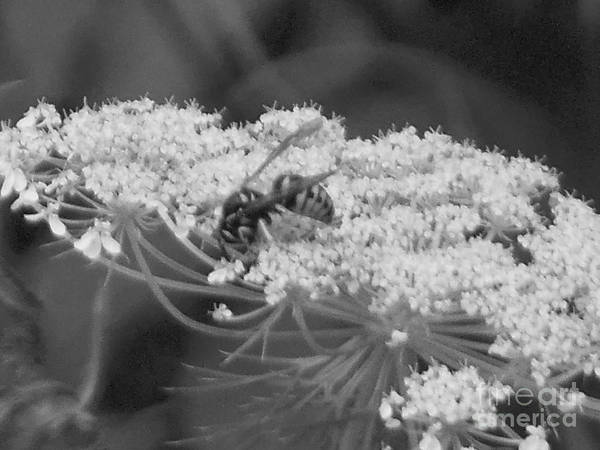 Photograph - Hornet Queen Anne's Lace by Rockin Docks