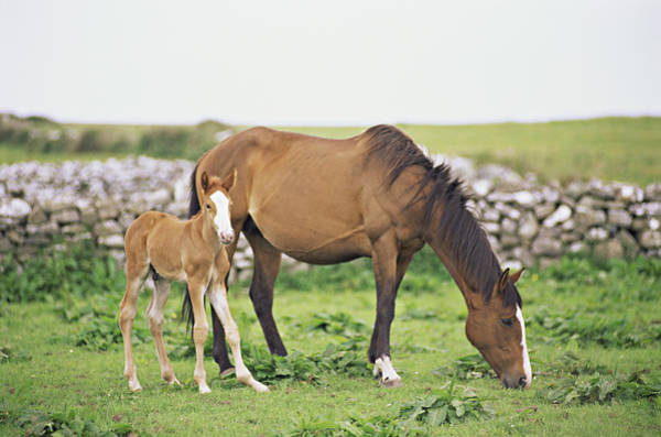 Mare Photograph - Horse And Foal Grazing In Field by Jenifer Harrington