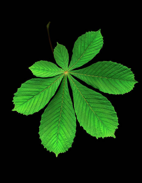 Chestnut Hill Photograph - Horse Chestnut Leaf Against Black by Mike Hill