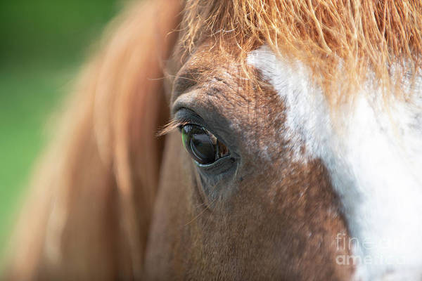 Photograph - Horse Eye by Dale Powell