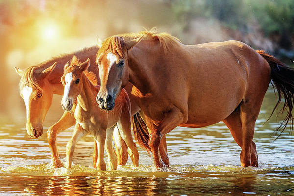 Wall Art - Photograph - Horse Family Walking In Lake At Sunrise by Susan Schmitz