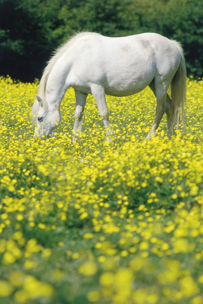 Grazing Photograph - Horse Grazing In Field by Simon Wilkinson