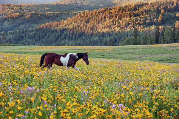 Uinta Photograph - Horse In A Field Of Wildflowers. Uinta by Mint Images - David Schultz