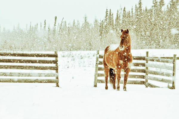 Corral Photograph - Horse In A Snowstorm by Roberta Murray - Uncommon Depth