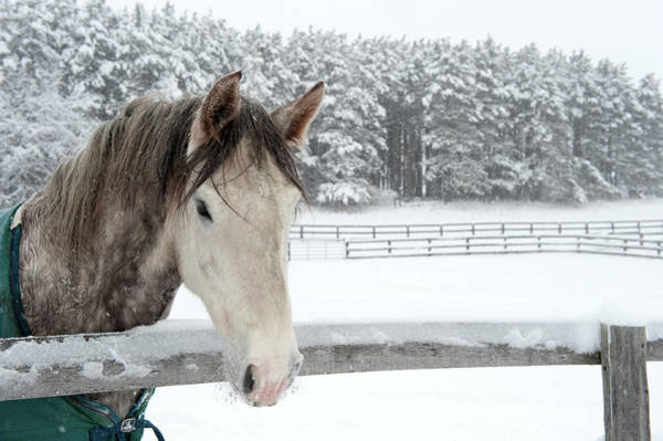 Wall Art - Photograph - Horse Looking Over Fence During Snow by © Brigitte Smith