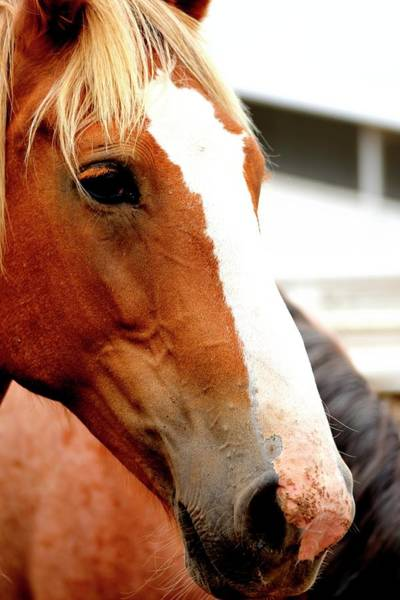 Photograph - Horse Red Eyelashes by Jerry Sodorff