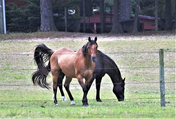 Photograph - Horses At Trussom Pond by Kim Bemis