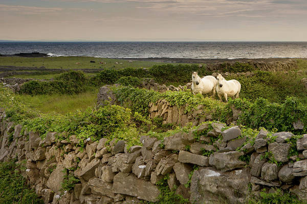 White Horse Wall Art - Photograph - Horses Behind Rocky Fences, Inishmore by Danita Delimont