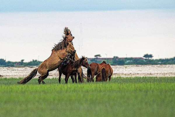Photograph - Horses Fighting Over A Mare by Dan Friend