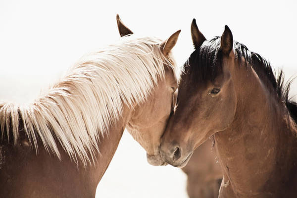 Love Photograph - Horses Greeting Each Other by Cultura Rm Exclusive/led