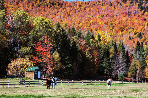 Photograph - Horses In New Hampshire Autumn by Jeff Folger